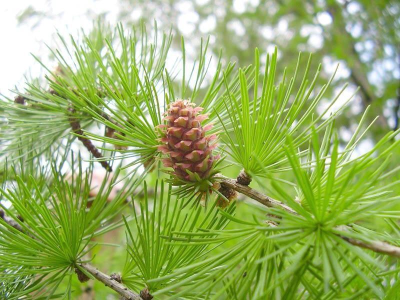 Дерево лиственница картинки